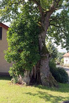 Tausendjährige Eiche in Schlimpfhof