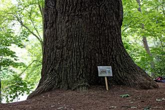 Eiche im Hahnholz in Leipzig