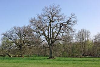 Eiche bei Vinsebeck