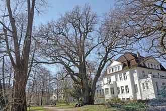 Eiche im Von-Eicken-Park in Lokstedt in Hamburg