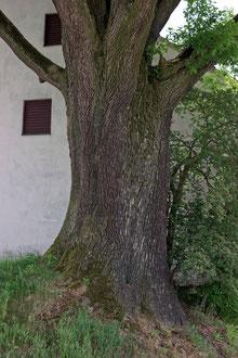 Eiche in Obermarbach
