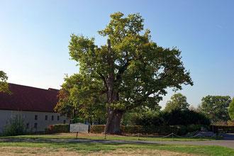 Eiche bei Schloss Vornholz bei Ostenfelde