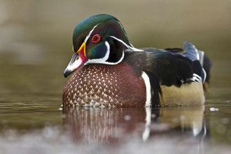 Brautente (Aix sponsa) / Wood Duck