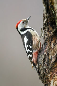 Mittelspecht (Dendrocopos medius) / Middle Spotted Woodpecker