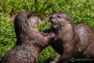 Otter im Tierpark Gotha