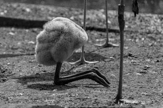 Flamingoküken im Zoo Dresden