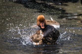Ente im Tierpark Gotha