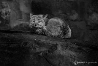 Fuchs im Tierpark Gotha