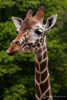 Giraffe im Zoo Erfurt
