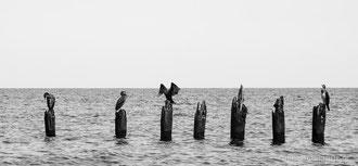 Komorane am Strand bei Glowe auf Rügen