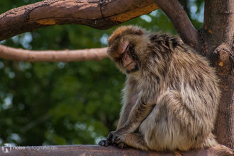 Berberaffe im Zoo Erfurt