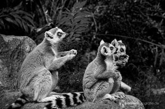 Kattas bei der Fütterung im Zoo Dresden