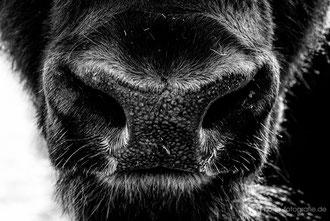 Ochsennase im Tierpark Gotha