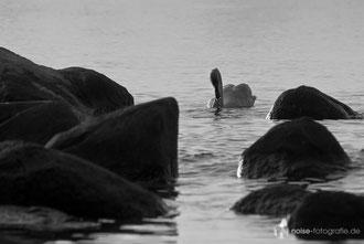 Schwan am Strand von Binz