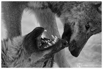 Wölfe im Tierpark Gotha