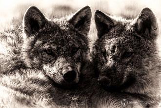 Wölfchen im Tierpark Gotha
