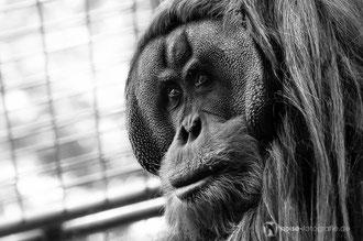 Affe im Zoo Dresden