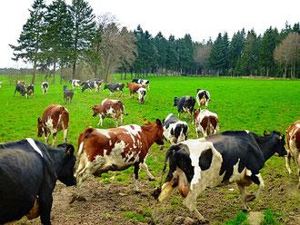 Bauernhofurlaub NRW -Kühe