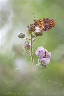 Brombeer-Perlmuttfalter (brenthis daphne)
