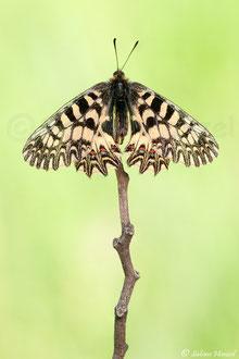 Osterluzeifalter (zerynthia polyxena)