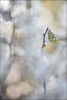 Resedafalter (Pontia edusa)