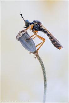 Dioctria flavipennis ♀ - Östliche Habichtsfliege