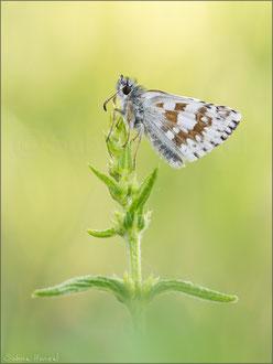 Steppenheiden-Würfel-Dickkopffalter (Pyrgus carthami)