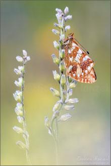 Hochalpen-Perlmuttfalter (boloria pales)