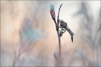 Frühlings-Raubfliege ♀ (erax barbatus)