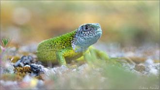 Östliche Smaragdeidechse (lacerta viridis)