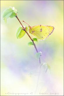 Gelbling (Colias)