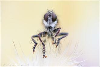 Erax barbatus ♂ - Frühlings-Raubfliege