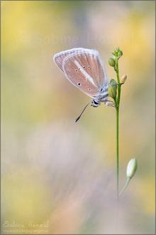 Weißdolch-Bläuling ♂ (polyommatus damon)