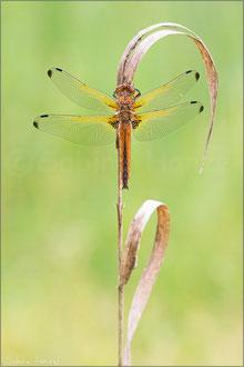 Spitzenfleck (libellula fulva)
