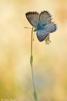 Silbergrüner Bläuling ♂ (polyommatus coridon)