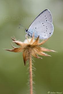 Östlicher Kurzschwänziger Bläuling (Cupido decolorata)