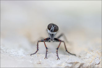 Tolmerus micans ♀ - Marmorierte Raubfliege