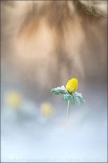 Winterling (eranthis hyemalis)
