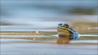 Wasserfrosch (pelophylax esculentus)
