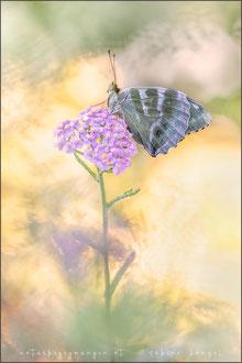 Kaisermantel (argynnis paphia f.valesina)