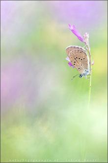 Kreuzenzian-Ameisenbläuling (phengaris rebeli)