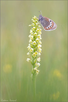 Alpen-Wiesenvögelchen (coenonympha gardetta)