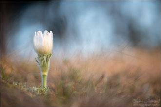 weiße Kuhschelle (pulsatilla vulgaris var. alba)