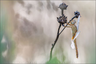 Feuerlibelle ♀  (crocothemis erythraea)