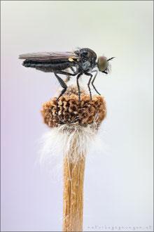 Holopogon fumipennis ♀ - Braune Rabaukenfliege