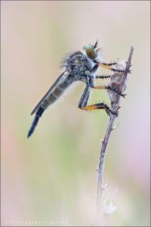 Neoitamus spec ♀ - Strauchdieb