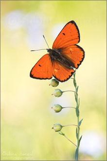 Großer Feuerfalter ♂ (lycaena dispar)