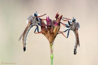 Echthistus rufinervis ♀ + ♂ - Berserkerfliegen