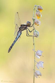 Gemeine Heidelibelle ♀ (sympetrum vulgatum)