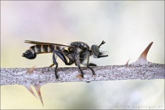 Fransen-Mordfliege ♂ (choerades fimbriata)